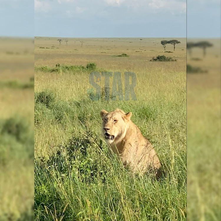 A lion rests under the hot sun in the Mara