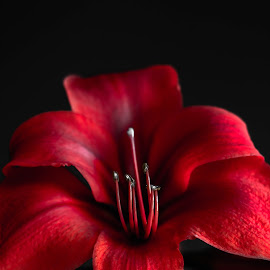 red lion by Kaye D - Novices Only Flowers & Plants ( red, nature, petals, plants, flowers )