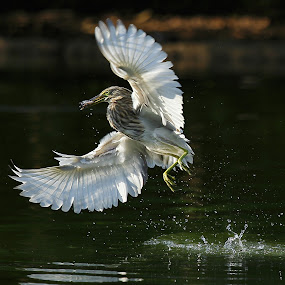 Caught by Stanley Loong - Animals Birds ( bird, flying, catch, catching, animal,  )