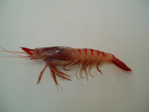 Photo: Gamba roja recién   pescada BIOLOGÍA  (Aristeus antennatus) https://es.wikipedia.org/wiki/Aristeus_antennatus