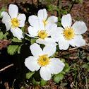 White Globe-flower