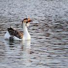 Kholmogory Goose
