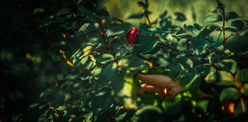 La vita è piena di paradossi, come le rose sono piene di spine. di Info@walteralberti.it