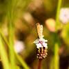 Eastern Pygmy Blue Butterfly