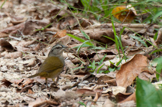 Photo: Green-backed Sparrow (Grünrückenammer); Bacalar, QROO