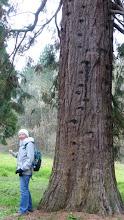 Photo: Catherine voulait monter en haut du séquoïa !