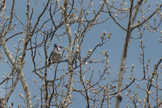 Photo: Blue Jay (Blauhäher); Lochaber, NS