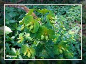 Photo: Euphorbe des bois, Euphorbia amygdaloides