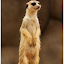 Meerkat by Arunkumar Boyidapu - Animals Other Mammals ( cats, active, meerkat, cute, standing, singapore, animal,  )