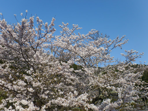 学校の桜1