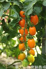 Photo: 拍攝地點: 春陽-番茄園 拍攝植物: 黃色小番茄 拍攝日期:2012_08_20_FY
