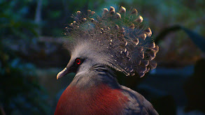 Victoria-Crowned Pigeon thumbnail