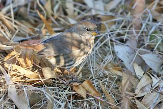 Photo: Fox Sparrow