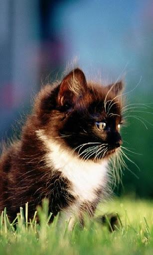 Black Kitten Lock Screen