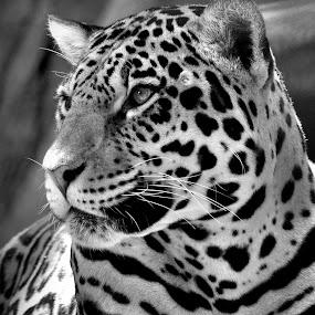 tijger by David Branson - Black & White Animals (  )