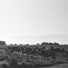 Cowboys by R Wolf - Black & White Street & Candid ( horseback, dogs, cowboys, herd, 35mm, landscape, cows )