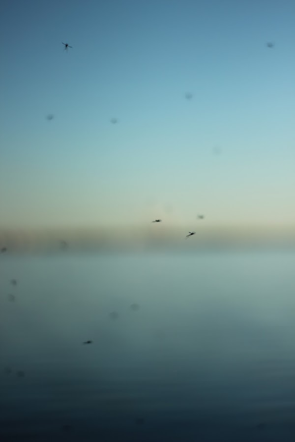 Moskitos  by Rob  Schmook - Abstract Macro ( flight, blue, freedom, waterscape, golden hour, blur, insects )