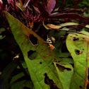 Aztec spur throat grasshopper
