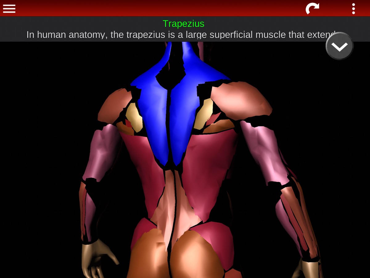muscular system 3d (anatomy) - android apps on google play, Muscles