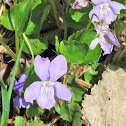 Heath Dog-violet
