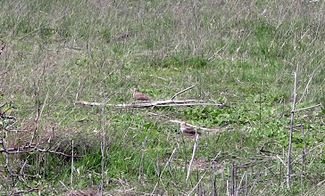 Photo: A pair of crested larks - we saw the crests before they went into stealth mode