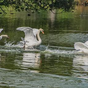Whoosh! by Gerda Grice - Animals Birds ( water, mute swans, landing, trees, wings spread, three swans, river,  )