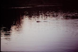 Photo: Beaver.