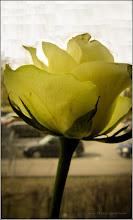 Photo: Turda - Str. Ştefan cel Mare, trandafir primit in magazinul DEDEMAN - 2019.03.08