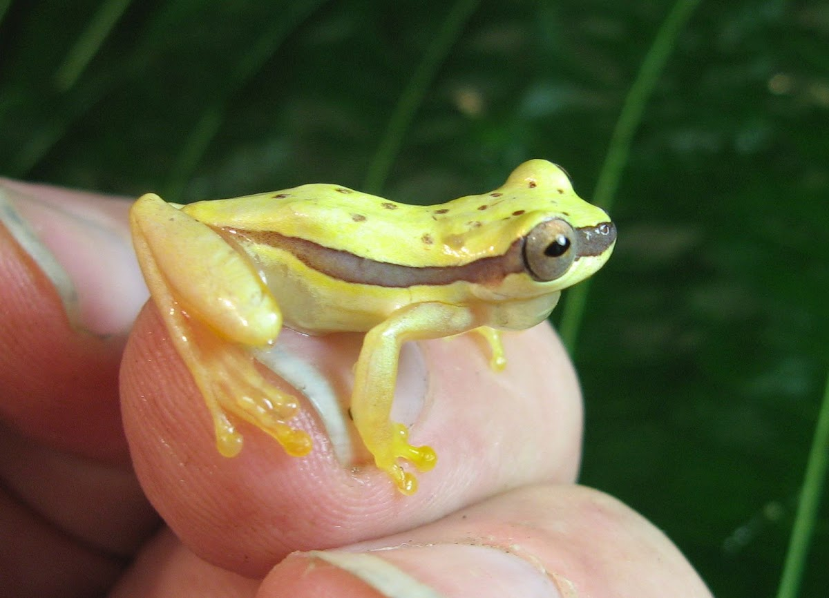 Banded Tree Frog