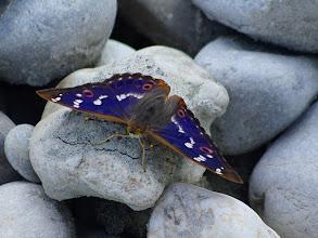 Photo: Der Kleine Schillerfalter (Apatura ilia)  ist ein Schmetterling (Tagfalter) aus der Familie der Edelfalter (Nymphalidae).  Er wird gelegentlich auch als Espen-Schillerfalter bezeichnet.