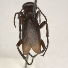 Photo: Meloe sp. (male), Det. E. G. Riley 2009, (Meloidae: Meloinae: Meloini)