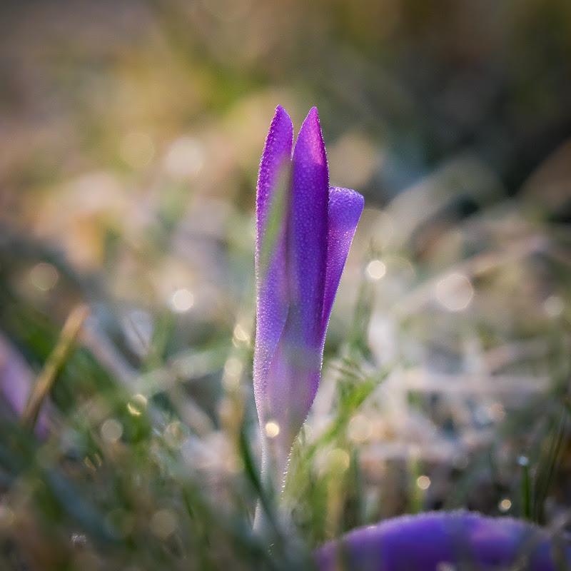 Sboccia la primavera  di Merlograziano