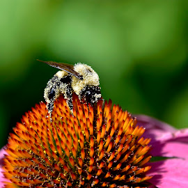 Pollen Covered Bumblebee by Jeff Sluder - Animals Insects & Spiders ( bee, pollen, nature,  )