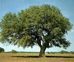 Photo: Here's how the tree looked in 1969 when we first published the book, Famous Trees of Texas.
