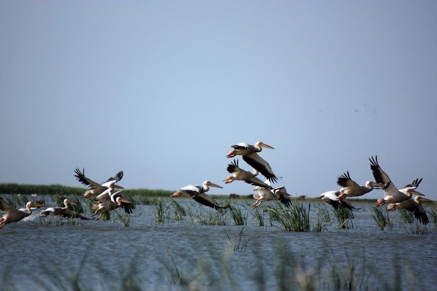 Pelicans by Cosmin Radulescu - Animals Birds (  )