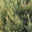 Sarcocornia