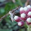 Irish Plume Moth