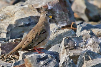 Photo: Croaking Ground-Dove