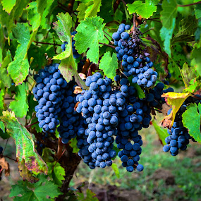 Ready for Wine by Lori Louderback - Nature Up Close Gardens & Produce
