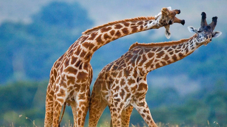 Animal Dance Battles