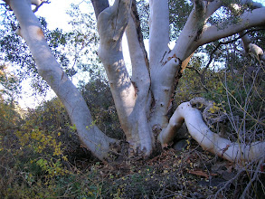 Photo: ....In between the two pines, we remeasured this huge Texas Madrone, which Jim Liles had last measured in 1982.