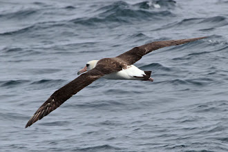 Photo: Laysan Albatross