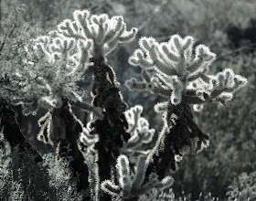 """Photo: Glowing Cholla Cactus- This detail view of cholla cactus glows with backlight in the late afternoon in the Tonto Basin of Arizona. So beautiful and they seem so """"friendly"""" but most assuredly, never fall into one or get close enough to touch this cactus. Some cholla cactus even have buds that will fall off and just the vibrations of a person walking near them will cause a bud to """"jump"""" and affix tightly to your skin and clothing. This plant was photographed along Highway 87 near the Mazatzal Mountain range northest of Phoenix."""