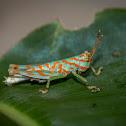 Aquatic Grasshopper (nymph)