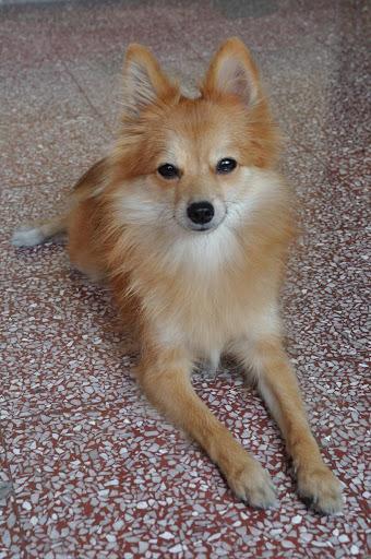 Pomeranian Dogs Wallpapers