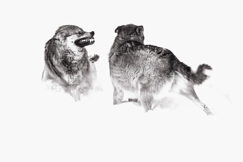 il lupo perde il pelo ma non il vizio di Senzuno