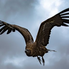 Condor by Andy Smith - Animals Birds ( bird, flight, condor,  )