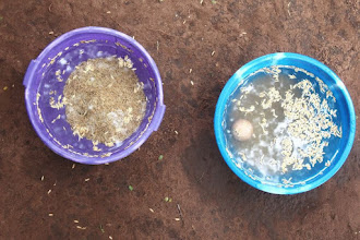 Photo: Sorting seed at a May 2013 West Africa SRI Training of Trainers held in partnership with the United States Peace Corps in Oueme, Benin. [Photo by Devon Jenkins, Benin, 2013]