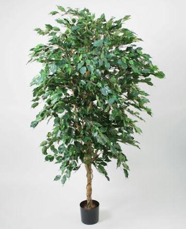 Ficus - 170cm