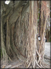 Photo: Banyan Tree in downtown St. Pete